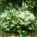 Jelzősövénynek ideális - karcsú gyöngyvirágcserje