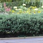 Jelzősövénynek ideális - veronikacserje
