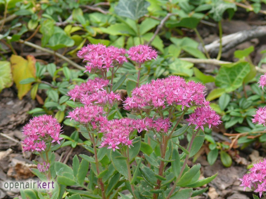 Sedum telephium Munstead Dark Red - kárpáti varjúháj